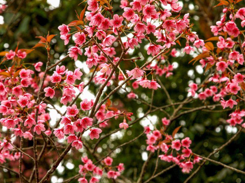 47.ต้นชมพูภูคา-ดอยผาผึ้ง